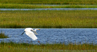 Great Egret with take out lunch